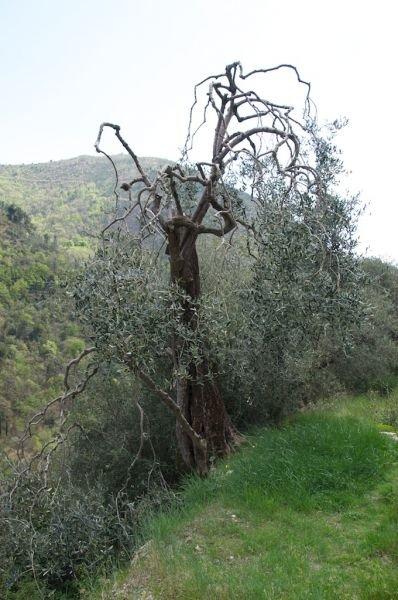 oliviers4.jpg