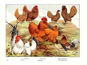 cuire son poulet :  le  sous vide facile dans BBQ COrNer/ survie poul-300x226